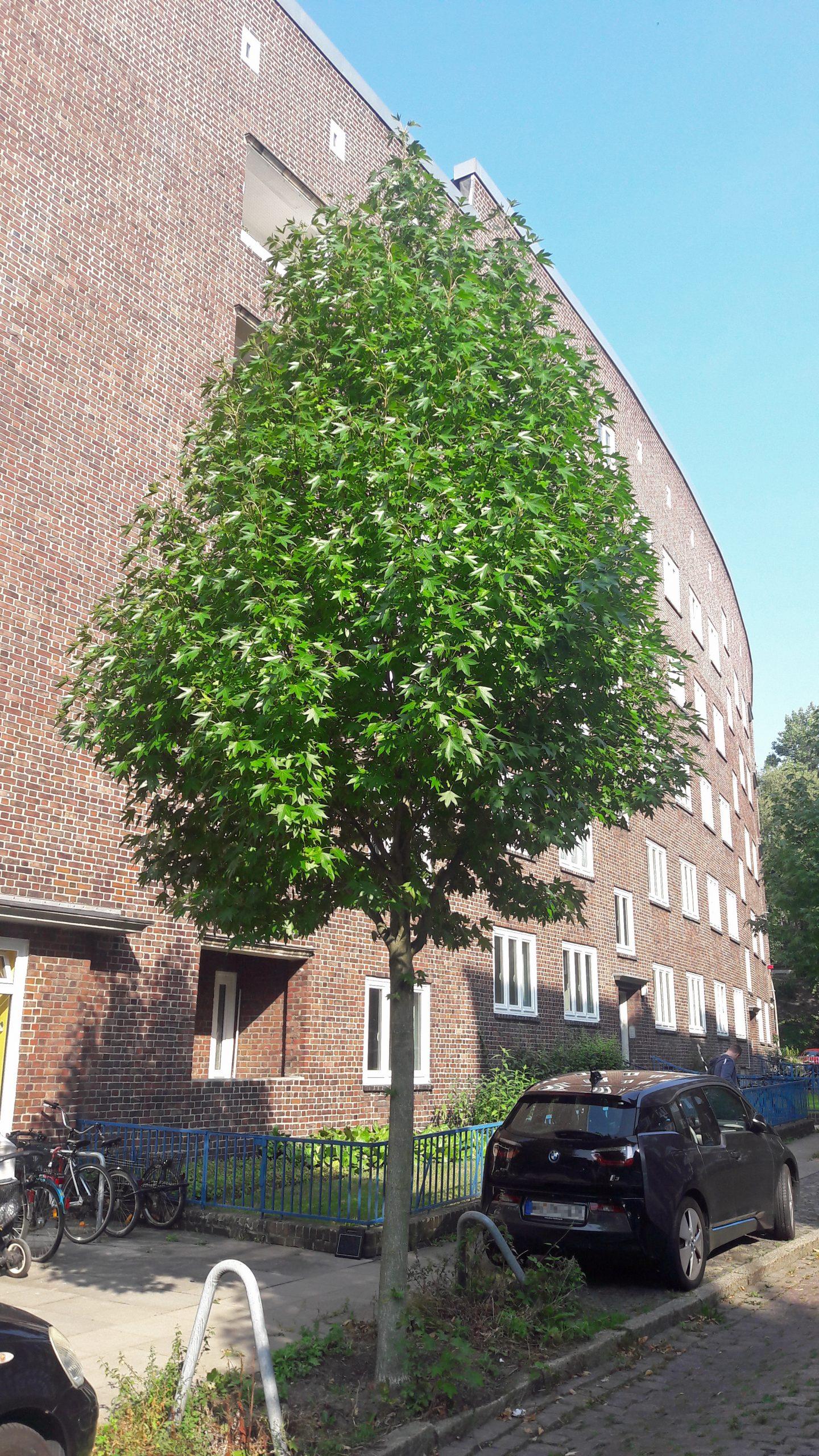 Ein Amberbaum.