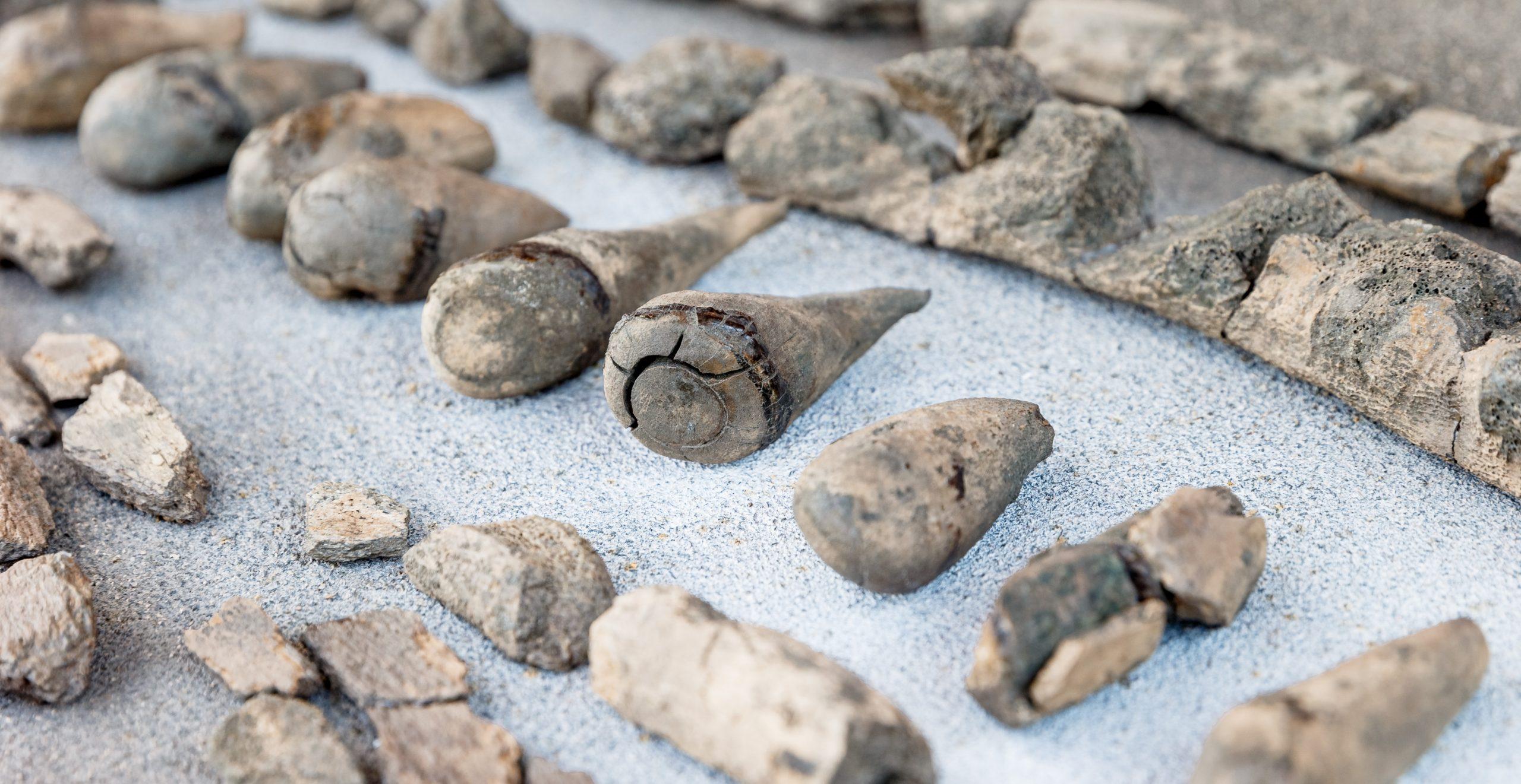 Präparierte Zähne und Kieferteile eines 11 Millionen Jahre alten Urzeitwals aus der Tongrube Pampau.