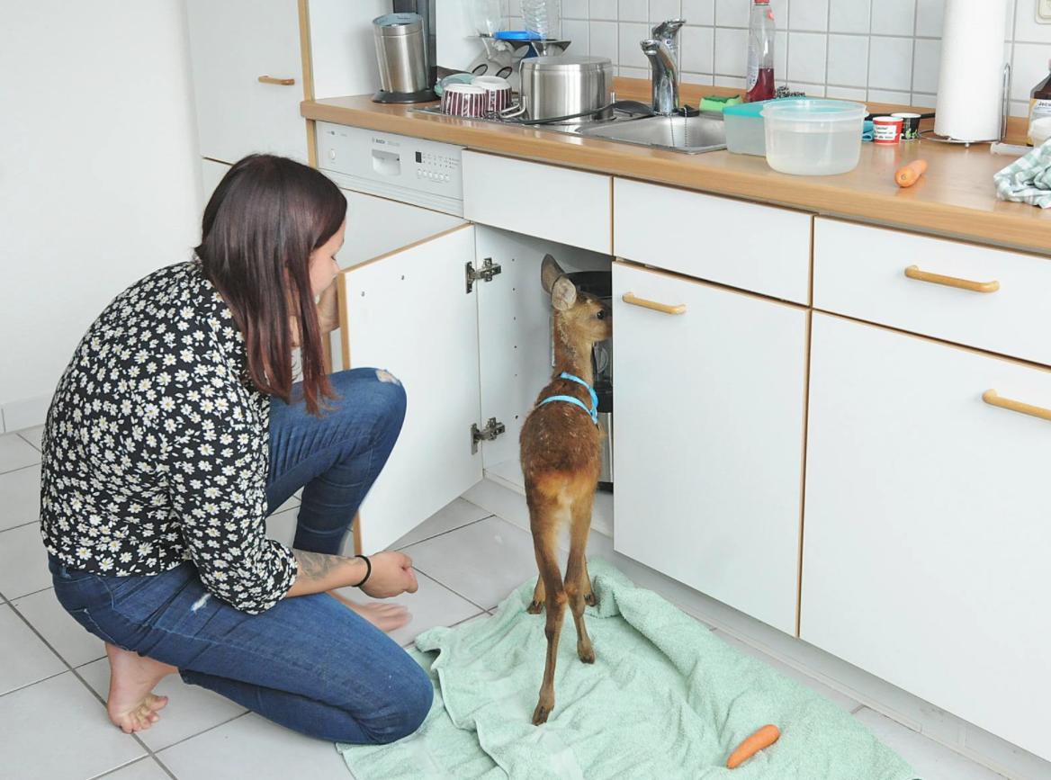 Rehkitz in der Küche
