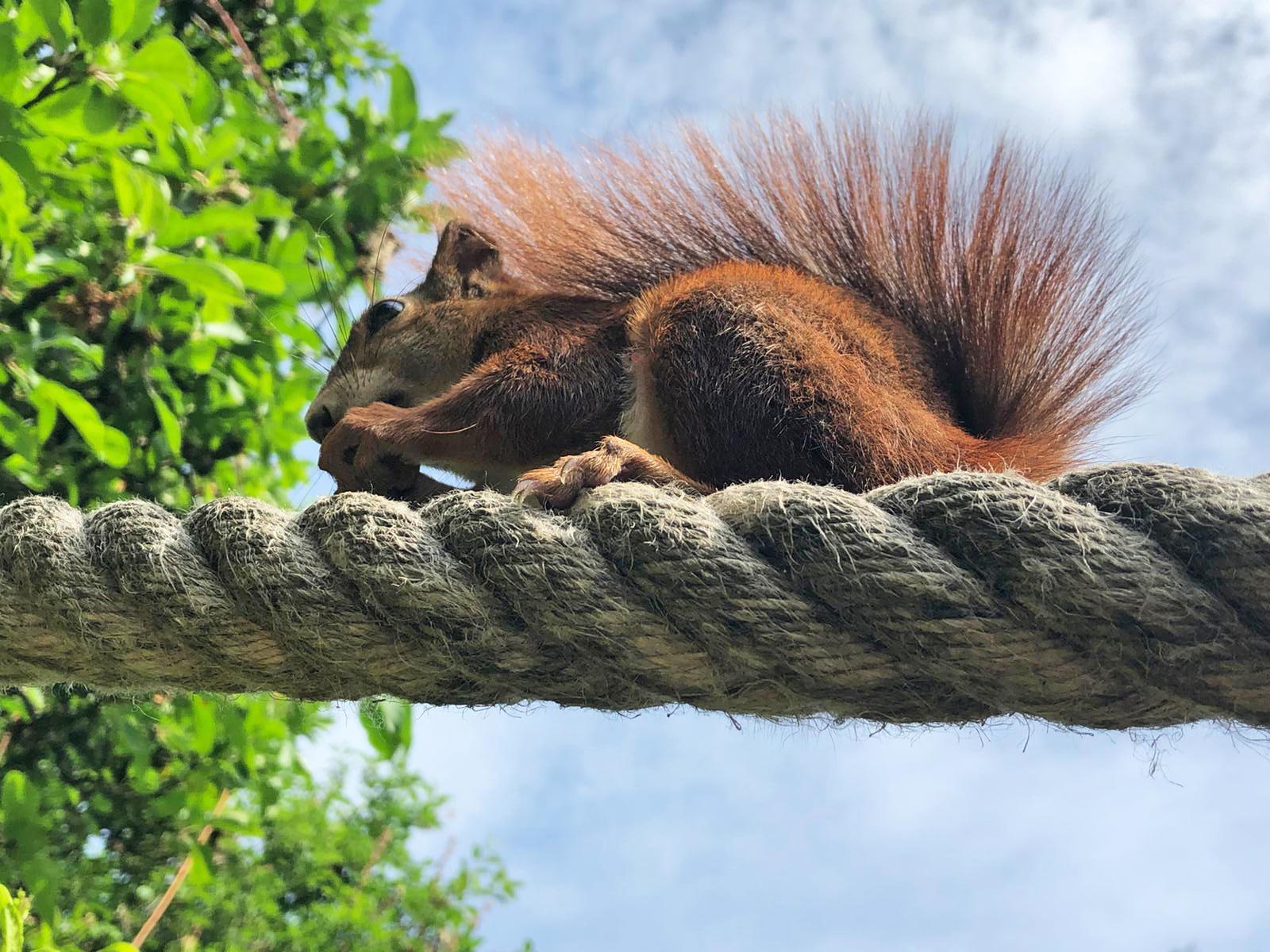 Ein Eichhörnchen auf der Eichhörnchenbrücke von Bergedorf.