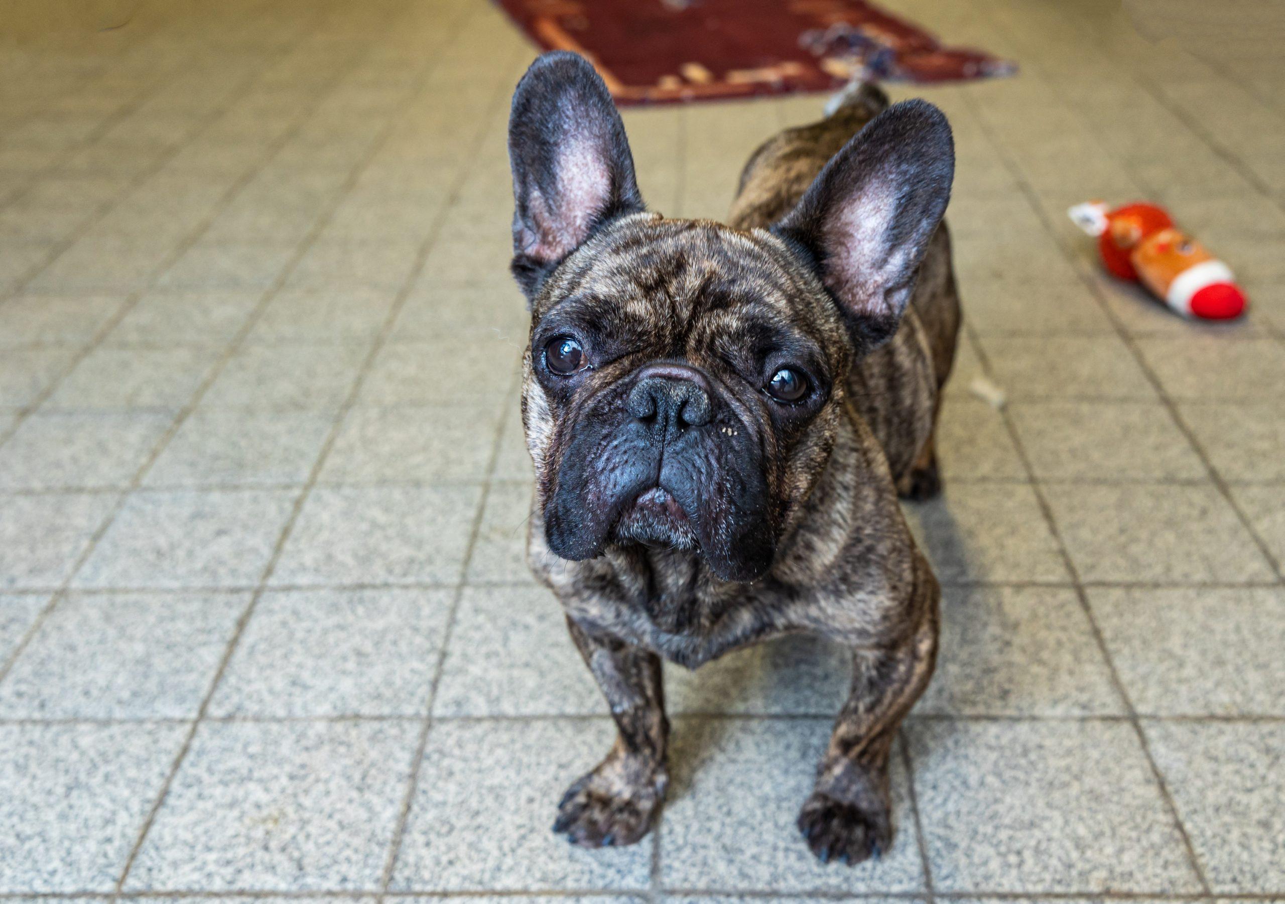"""Hamburg: """"Charlie"""" ist seit April im Tierheim in der Süderstraße und kam aus einer behördlichen Sicherstellung. Er leidet unter Atemnot und hat verformte Vorderbeine."""