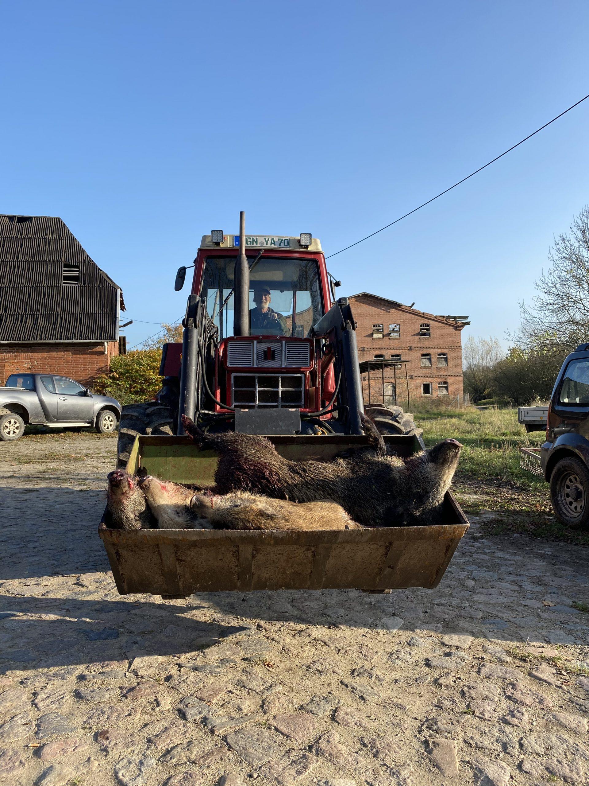 Jagd auf Wildschweine Mecklenburg-Vorpommern
