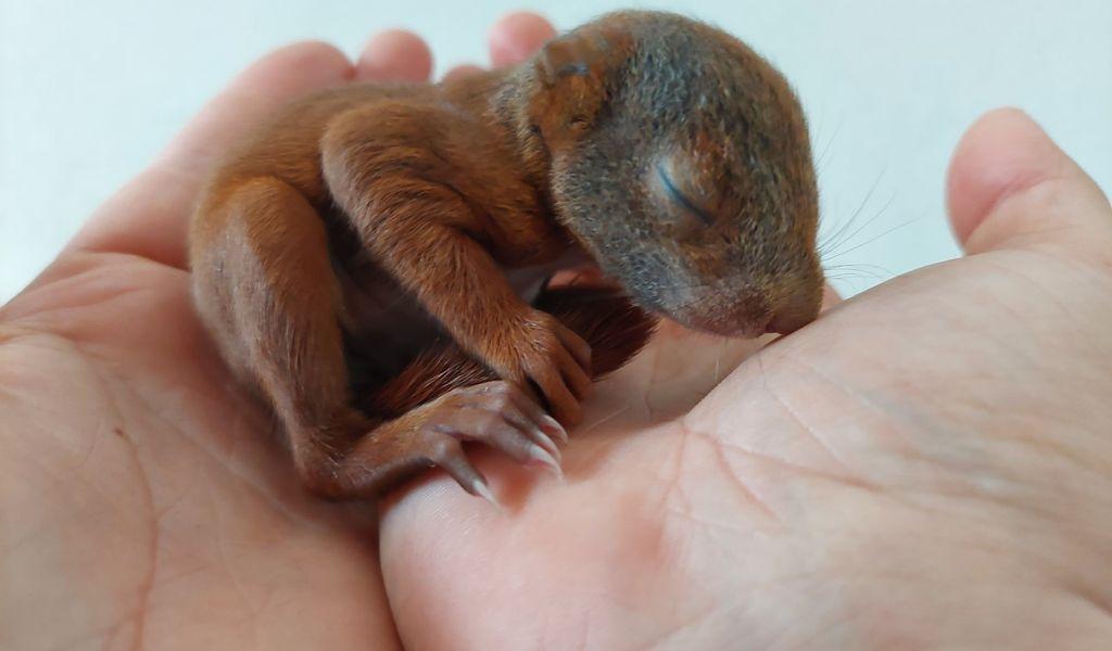 Letzte Woche Donnerstag wurde ein Eichhörnchen in der Verkehrsdirektion Ost abgegeben