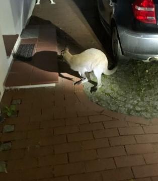 Entlaufendes Känguru wurde nach Hause gebracht.