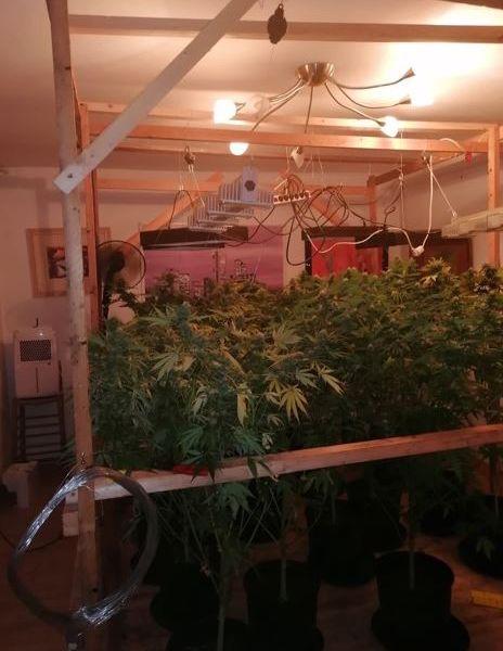 Zahlreiche Marihuana-Pflanzen stehen in einem Zimmer, Kabel hängen von der Decke