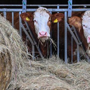Mann beim Füttern von Rindern verletzt