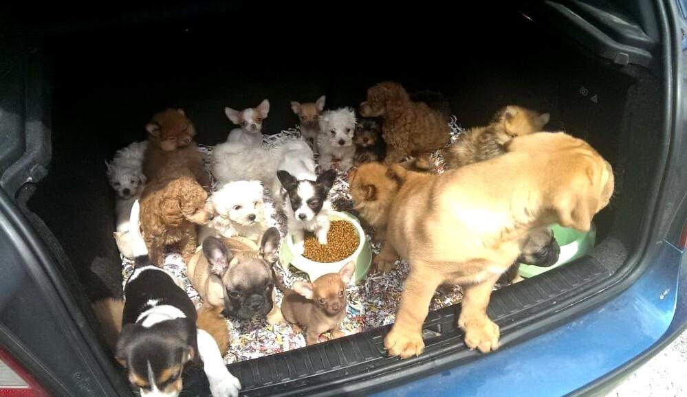 Hundewelpen im Kofferraum