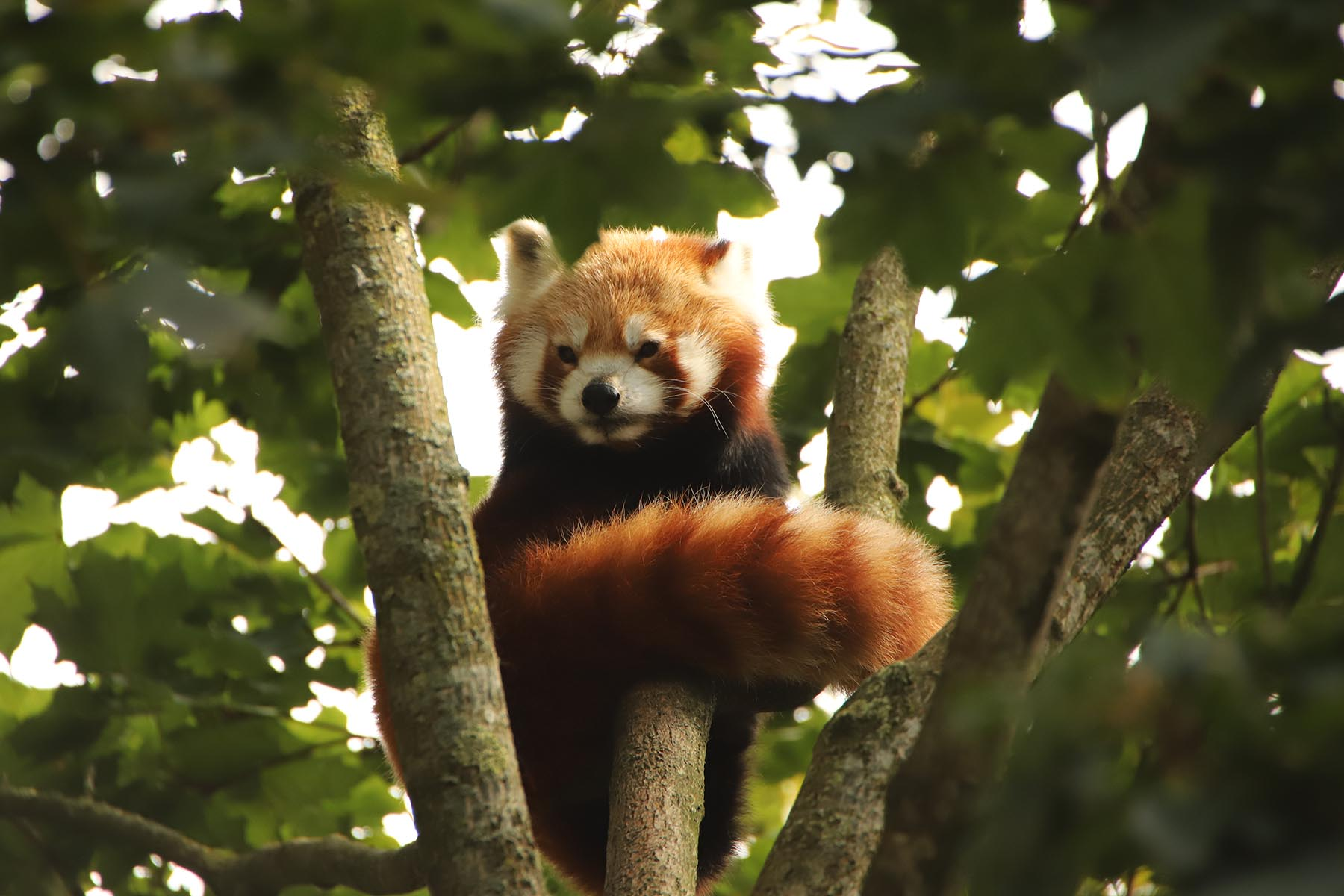 Kleiner Panda im Tierpark Hagenbeck