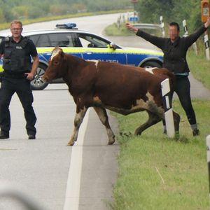 Die Kuh auf der A210, dahinter baut sich eine Frau mit breiten Armen auf