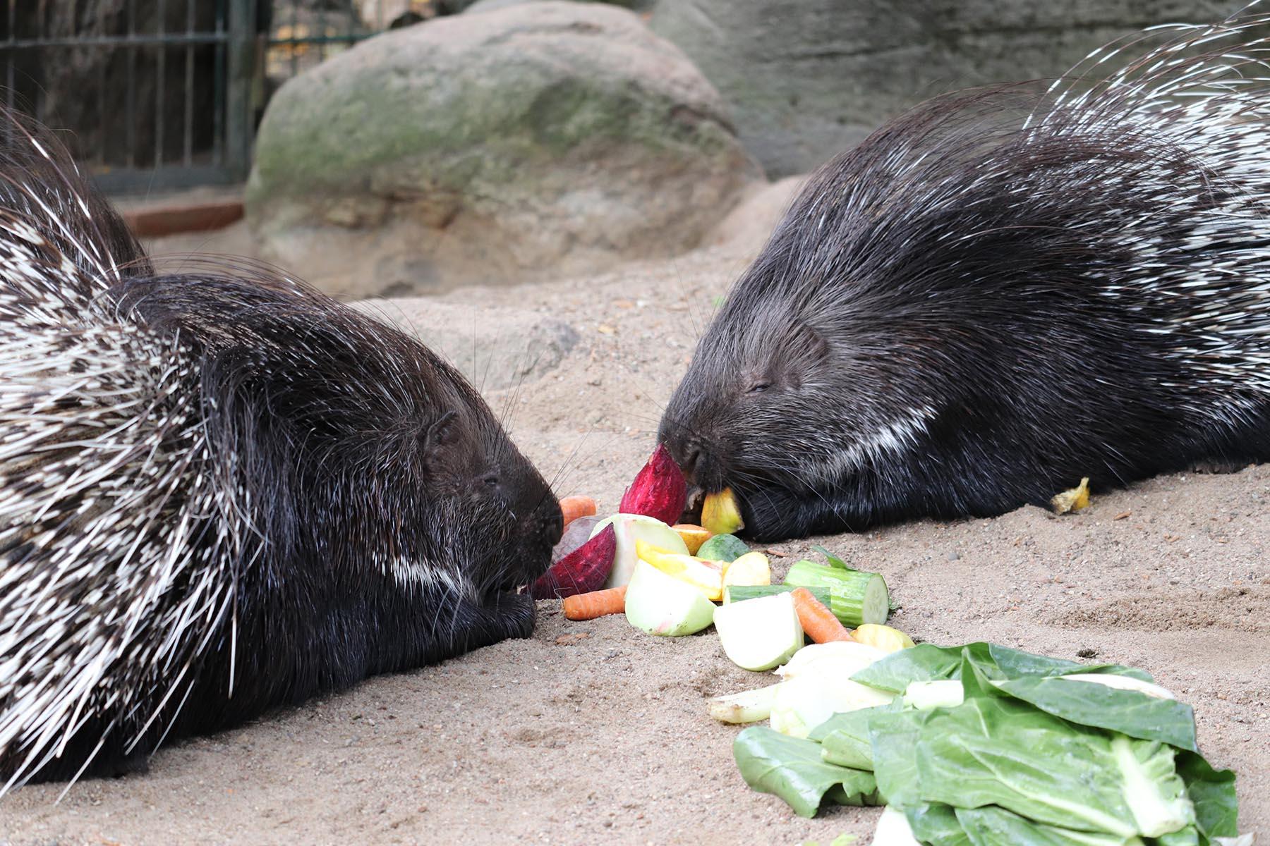 Stachelschweine im Tierpark Hagenbeck
